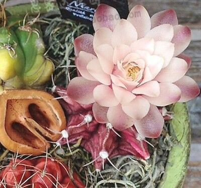 FD2223 Pink Succulents Seeds Mini Potted Flower Organic Seeds ~1 Bag 50 Seeds~