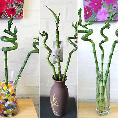 1 Spiral Straight Lucky Bamboo Group Ribbon Plant @ Pottery Vase House Feng Shui