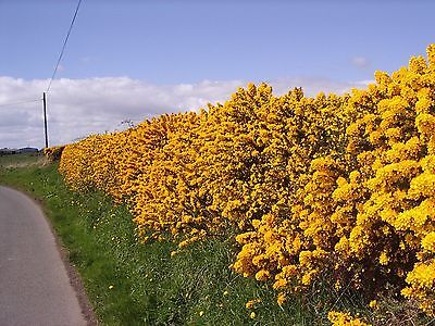 100 Gorse Hedging Furze Hedges Whin Hedge Prickly Plants