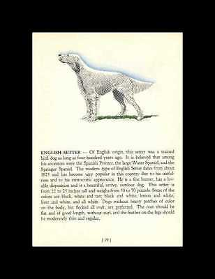 * English Setter Vintage Dog Print - 1940 Cannon - Matted