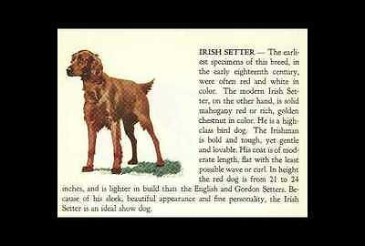 * Irish Setter Vintage Dog Print - 1940 Cannon - Matted