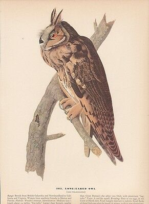 "1942 Vintage AUDUBON BIRDS #383 ""LONG EARED OWL"" Color Art Plate Lithograph"