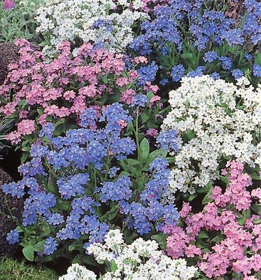 Flower Forget Me Not Myosotis Alpestris Mixed 1Gm ~ 1600 Seeds