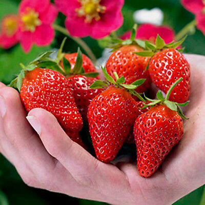 red strawberry SEED 100pcs Climbing strawberry four season fruits seeds