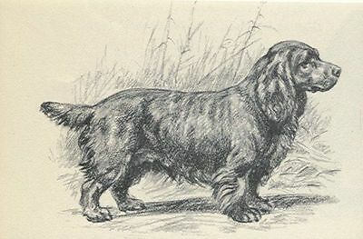 * Sussex Spaniel - Vintage Dog Print - 1942 Megargee