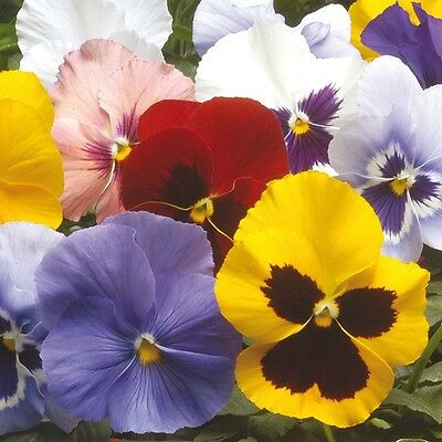Flower Pansy Winter Flowering Hiemalis Mixed 250 Seeds