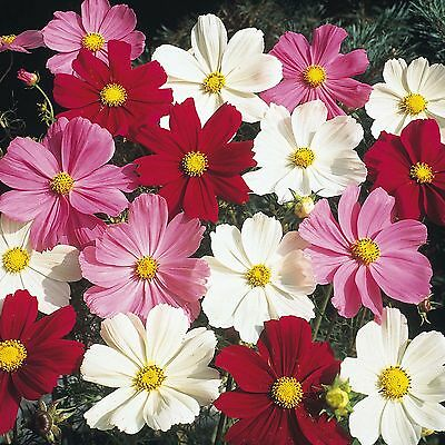 Flower Cosmos Dwarf Mix  450 Flower Seeds