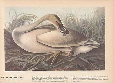 "1942 Vintage AUDUBON BIRDS #99 /""COWBIRD/"" Color Art Plate Lithograph"