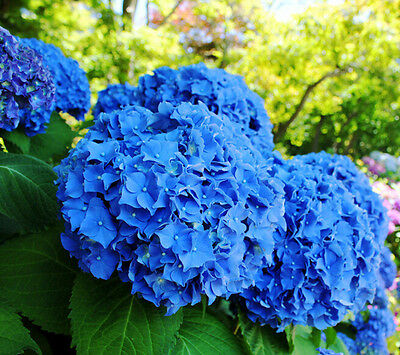 10 Blue Flower Easy to Plant Ideal Garden Present Gorgeous Hydrangea Seeds