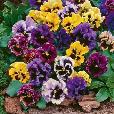 Flower Pansy Masterpiece Rococo Mix 600 Finest Seeds