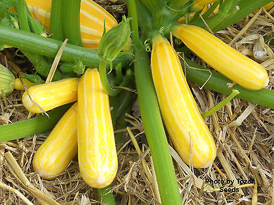 Courgette Yellow With White Stripe F1 Sunstripe  Ap 10 Seed £1.54 Freepost