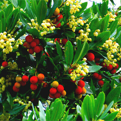 Compact Strawberry Tree 1-2ft Tall (Very Bushy) / Arbutus unedo  in 2 litre pots