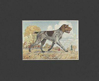 German Wirehaired Pointer - Color Dog Print - MATTED