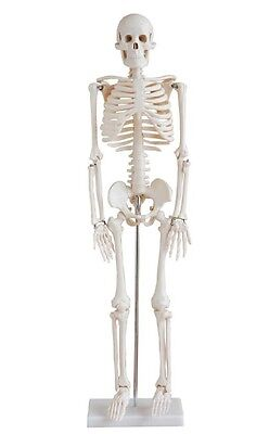 """1st QLTY 33.5"""" HUMAN SKELETON ANATOMICAL MODEL STUDENT/DOCTOR with STAND"""