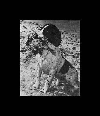 * English Springer Spaniel - Dog Photo Print - 1964