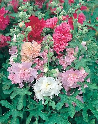 Perennial Flower Hollyhock Majorette Mixed 200 Flower Seeds