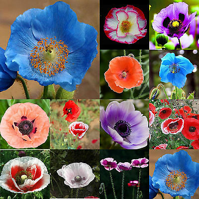 100 PERSIAN BLUE POPPY Papaver Somniferum Flower Seeds  easy to grow