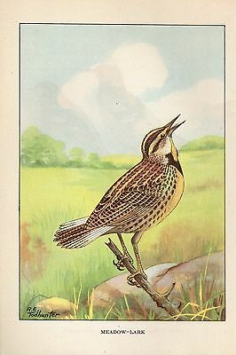 """1926 Vintage TODHUNTER BIRDS """"MEADOWLARK"""" LOVELY 90 YEARS OLD Color Lithograph"""