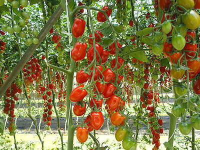 Vegetable Tomato ( Plum Cherry) Datterino F1 15 Finest Seeds