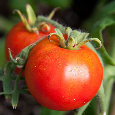 Tomato - Legend  - 75 Seeds - Late Blight Resistant