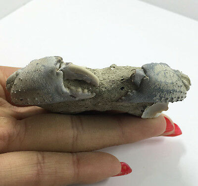 Rare Crustacean Miocene Crab Fossil From china 65.7 g  Free SHIPPING