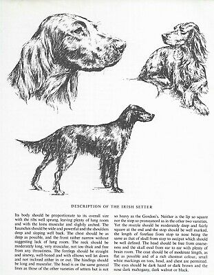 Irish Setter Sketch - 1963 Vintage Dog Print - Matted
