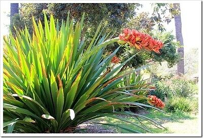 SPEAR LILY (Doryanthes palmeri) 30 seeds