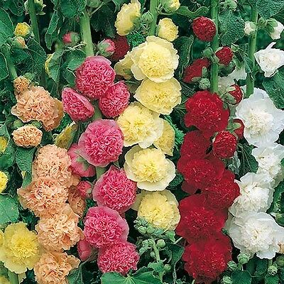 Perennial Flower Hollyhock Chaters Double Mixed 120 Seeds