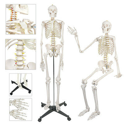 180cm Life Size Human Recreational Skeleton Anatomical Medical Model & Stand