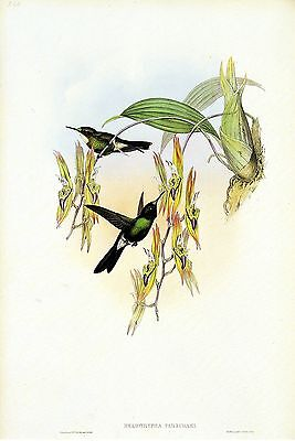 "1990 Vintage HUMMINGBIRD #241 /""VIOLA STAR FRONTLET/"" LOVELY GOULD Art Lithograph"