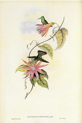 """1990 Vintage HUMMINGBIRD #40 /""""LITTLE HERMIT/"""" by GOULD COLOR Art Lithograph"""
