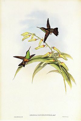 "1990 Vintage HUMMINGBIRD #315 /""BLUE TAILED AMAZILI/"" LOVELY GOULD Art Lithograph"