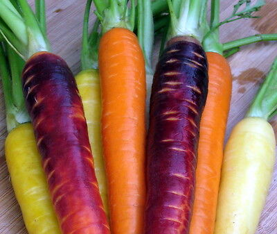 Rainbow Carrots Mix Orange Yellow White Red Purple Vitamin Rich 1000 + Seeds !
