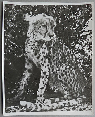 Photo Argentique Animal Léopard Vers 1950