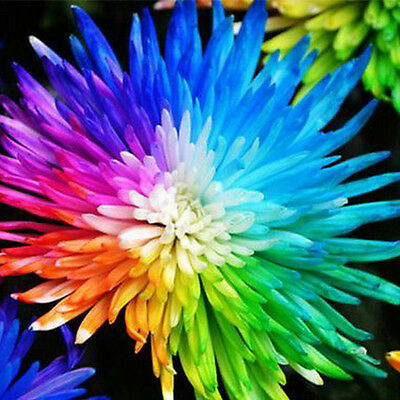 20PCS Colorful Rainbow Chrysanthemum Flower Seeds Potted Home Garden Bonsai DIY