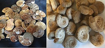 Beautiful Cut and polished fossil Ammonites 3 sizes Or Whole unpolished