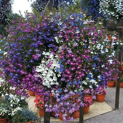 Flower Lobelia Cascade Mixed  4 Gram ~ 120,000 Seeds  Trailing  Bulk