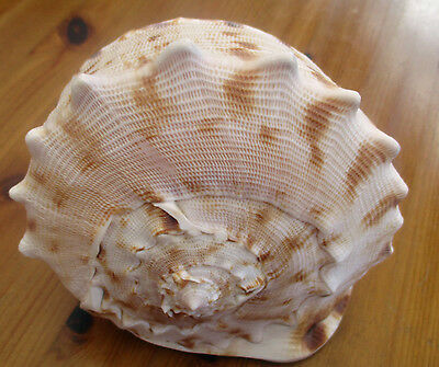 Three Very Large Vintage Collectable Sea Shells-