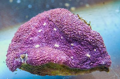 WYSIWYG CR Ultra Symphyllia (approx 3 inches in length) live coral reef tank