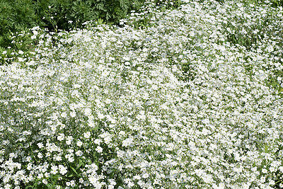 Flowr Gypsophila Elegans Covent Garden 6000 Flower Seeds