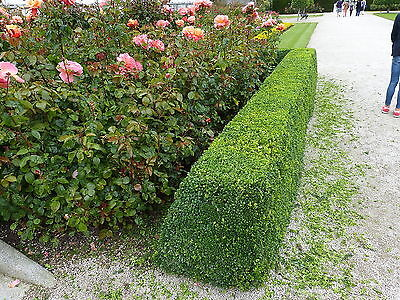 100 Common Box 30-40cm, Buxus Sempervirens,Big Bushy Evergreen Hedging Plants