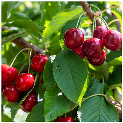 'Lapins' Cherry Tree 4-5ft tall, Self-Fertile & Ready to Fruit, Heavy Cropper