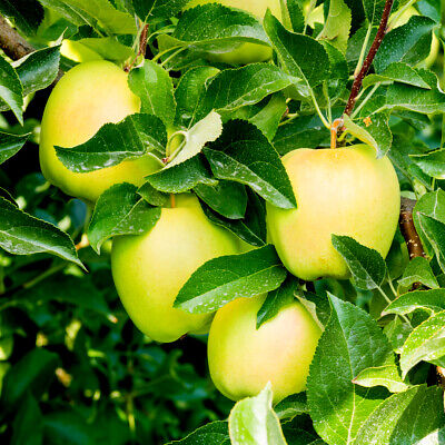 Golden Delicious Apple Tree 4-5ft, Self-Fertile, Very Sweet Flavour.