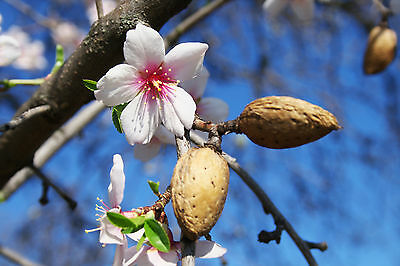 Large 4-5ft Sweet Almond Tree 'Robijn',Ready To Fruit, Nice Pink Flowers