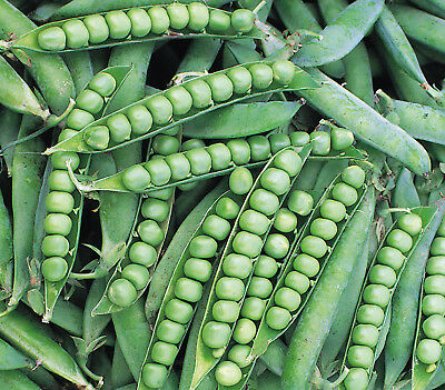 Vegetables Pea  Alderman  360 Finest Seeds  Main Crop  Tall