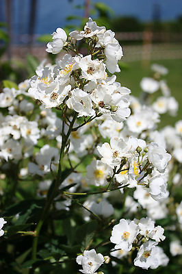 'Kiftsgate' Fragrant Climbing Rose, Creamy-White Flowers With Golden Stamens