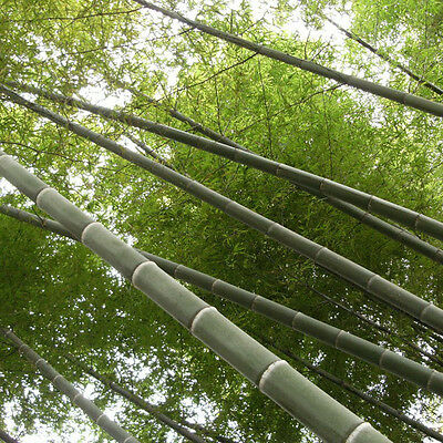 Fresh Seeds Phyllostachys Pubescens Moso-Bamboo Seeds Garden Plants 100+ Pcs
