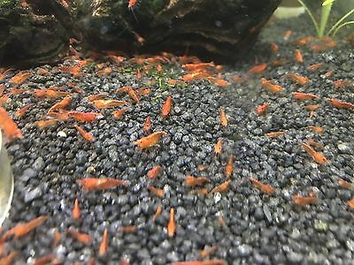 50 Red Cherry Shrimps