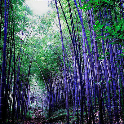 Lots 100Pcs/Pack Seeds Home Garden Plants RARE Purple Bamboo Decoration