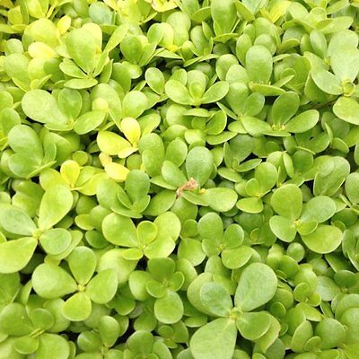 Herb  Purslane Golden (Portulaca Oleracea)  3000 Finest Seeds